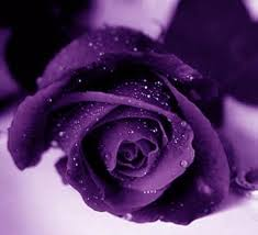 rosa violajpg